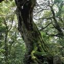 温泉寺参道にある大木