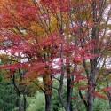 城崎美術館前の紅葉 その1