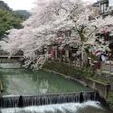 城崎温泉 木屋町通りの桜 その1