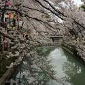 木屋町通りの桜 その3