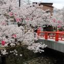 大谿川上流の桜並木 その9
