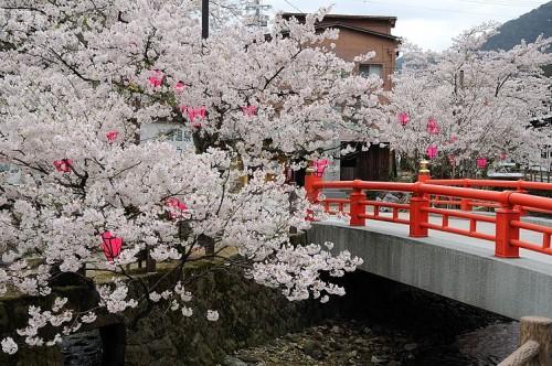 http://photo.kinosaki2.net/sakura/1875.html