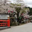 大谿川上流の桜並木 その10