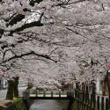大谿川上流の桜並木 その14