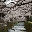大谿川上流の桜並木 その15