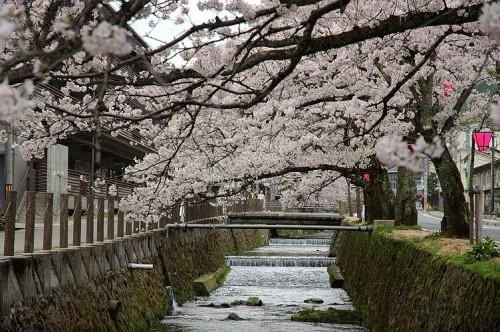 http://photo.kinosaki2.net/sakura/1896.html