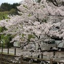 大谿川上流の桜並木 その16