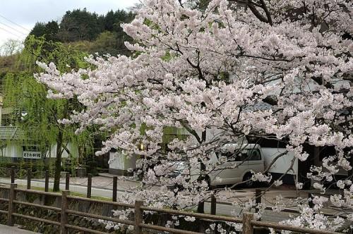 http://photo.kinosaki2.net/sakura/1899.html