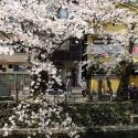木屋町通りの桜 その4