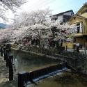 木屋町通りの桜 その14