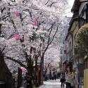 木屋町通りの桜 その5
