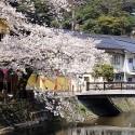 木屋町通りの桜 その8