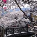木屋町通りの桜 その6