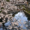 木屋町通りの桜 その13