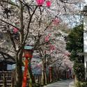 木屋町通りの桜 その15