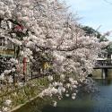 木屋町通りの桜 その16