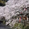 木屋町通りの桜 その12