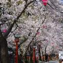 木屋町通りの桜 その17