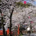 木屋町通りの桜 その7