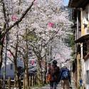 木屋町通りの桜 その18