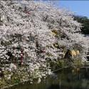 木屋町通りの桜 その19