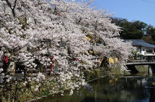 http://photo.kinosaki2.net/sakura/1757.html