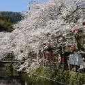 木屋町通りの桜 その20