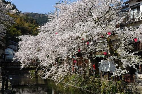 http://photo.kinosaki2.net/sakura/1760.html