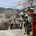 木屋町通りの桜 その11