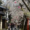 木屋町通りの桜 その21