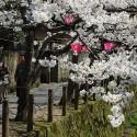 木屋町通りの桜 その22