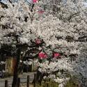 木屋町通りの桜 その23