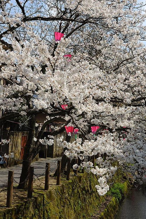 http://photo.kinosaki2.net/sakura/1769.html