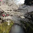 木屋町通りの桜 その24