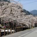 大谿川上流の桜並木 その13