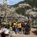 大谿川上流の桜並木 その12