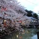 木屋町通りの夜桜 その3