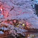 木屋町通りの夜桜 その4