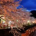 大谿川上流の桜並木 その2