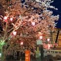 大谿川上流の桜並木 その4
