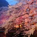 木屋町通りの夜桜 その2