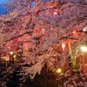木屋町通りの夜桜 その6