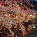 木屋町通りの夜桜 その5