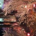 木屋町通りの夜桜 その8