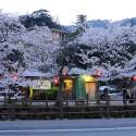 大谿川上流の桜並木 その5