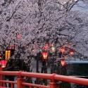大谿川上流の桜並木 その6