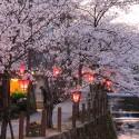 大谿川上流の桜並木 その7