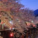 大谿川上流の桜並木 その1