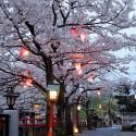 木屋町通りの夜桜 その20