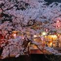 木屋町通りの夜桜 その13
